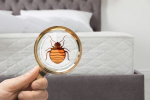 how to find out if you have bed bugs Denver